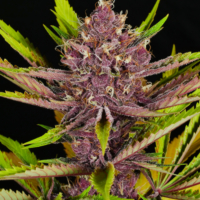 mass medical strains putang cannabis seeds
