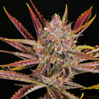 putang cannabis seeds mass medical strains