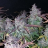 fastberry ruderalis by fastbuds