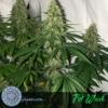 fat wreck cannabis seeds