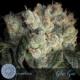 glue gun cannabis seeds