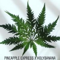 holy pineapple freakshow plant