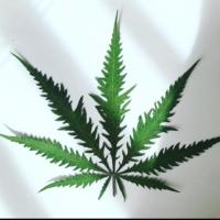 berry freak jurassic leaves marijuana