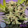 hot wax cannabis seeds