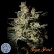 orange struesel cannabis seeds