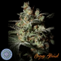 orange struesel cannabis seeds