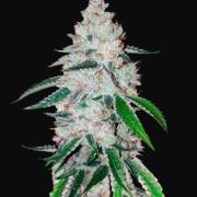 west coast og auto-flowering cannabis seeds