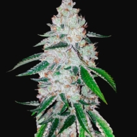 west coast og auto-flowering cannabis seeds