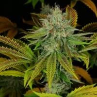 flounder breath marijuana strain