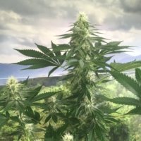 flounder breath cannabis seeds