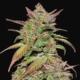 smoothie cannabis seeds auto flowering