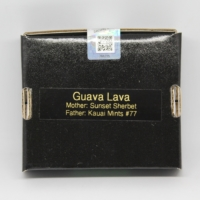 Guava Lava cannabis seeds from 808 Genetics