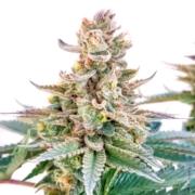dr skunk marijuana seeds