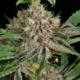 buy patchouli pupil cannabis seeds mass medical strains putang f2 x star pupil