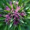 find pinkleberry marijuana seeds
