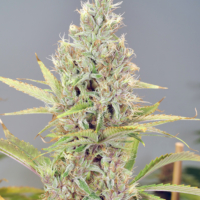 mass medical strains chick magnet mmj seeds