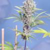 chock magnet marijuana seeds