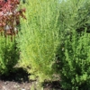 australian bastard cannabis plants outdoors male and females
