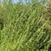 male abc marijuana plant regular seeds