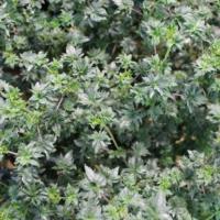 abc cannabis seeds