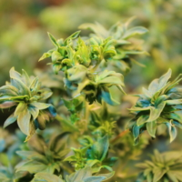 abs cannabis seeds