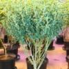 buy abc heirloom marijuana seeds