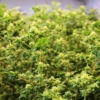 Australian Bastard Cannabis seeds
