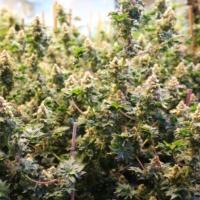 find australian bastard marijuana seeds