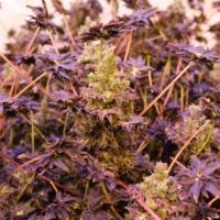 Purple ABC plant