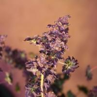 Purple Australian Bastard cannabis mmj