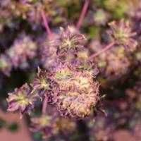 ABC marijauna seeds