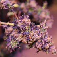 ABC marijuana plants