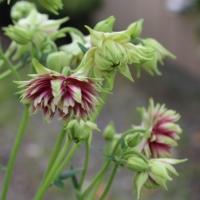 columbine plant nora barlow