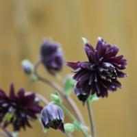 aquilegia vulgaris black barlow seeds