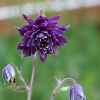 columbine black barlow seeds