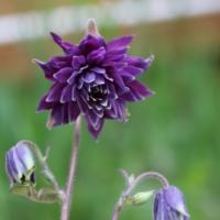 columbine black barlow seeds