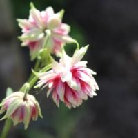 aquilegia vulgaris seeds nora barlow
