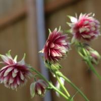 nora barlow aquilegia plants