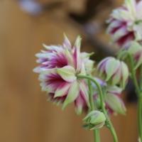 clematis flowered columbine seeds