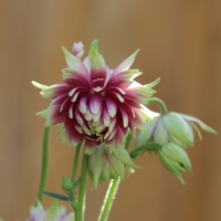 nora barlow clematis flowered columbine seeds