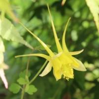 aquilegia longisssima seeds