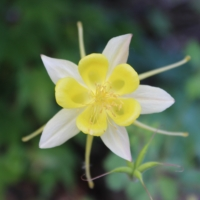 long spurrred columbine seeds