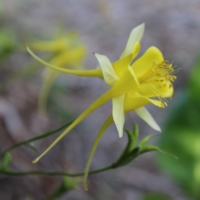 aquilegia yellow long spur columbine seeds