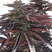 shaq fu marijuana seeds by Terp Fiend genetics