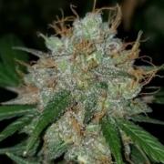 strawnana tart cannabis seeds bred by Terp Fi3nd