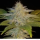 Bill Murray marijuana strain seeds Terp Fiend