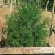 congolese red landrace marijuana seeds