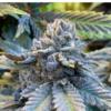 buy curse of momo cannabis seeds