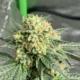 heady eddy marjuana seeds terp fi3nd