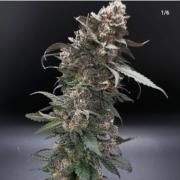 orange headrush f2 cannabis seeds by terp fi3nd